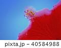 ハイビスカス 花 植物の写真 40584988