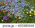 神奈川県横浜市里山ガーデンのネモフィラ 40586948