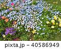 神奈川県横浜市里山ガーデンのネモフィラ 40586949