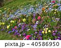 神奈川県横浜市里山ガーデンのネモフィラ 40586950