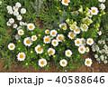 神奈川県横浜市里山ガーデンのマーガレットムーンライト 40588646