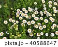 神奈川県横浜市里山ガーデンのマーガレットムーンライト 40588647
