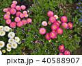 神奈川県横浜市里山ガーデンのデイジータッソストロベリー&クリーム 40588907