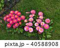 神奈川県横浜市里山ガーデンのデイジータッソストロベリー&クリーム 40588908