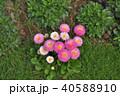 神奈川県横浜市里山ガーデンのデイジータッソストロベリー&クリーム 40588910