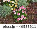 神奈川県横浜市里山ガーデンのデイジータッソストロベリー&クリーム 40588911
