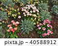 神奈川県横浜市里山ガーデンのデイジータッソストロベリー&クリーム 40588912
