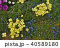 神奈川県横浜市里山ガーデンのエスコルチア 40589180