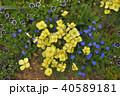 神奈川県横浜市里山ガーデンのエスコルチア 40589181