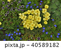 神奈川県横浜市里山ガーデンのエスコルチア 40589182
