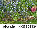 神奈川県横浜市里山ガーデンのワスレナグサ 40589589