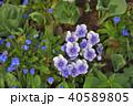 神奈川県横浜市里山ガーデンのパンジーデルタプレミアム 40589805