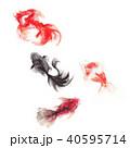 金魚/水彩画 40595714