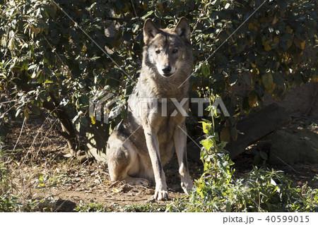 オオカミ 40599015