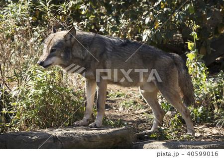 オオカミ 40599016