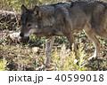 オオカミ 40599018