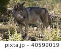 オオカミ 40599019