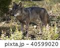 狼 動物 哺乳類の写真 40599020