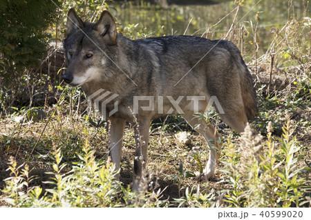 オオカミ 40599020