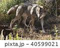 狼 動物 哺乳類の写真 40599021