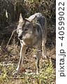 オオカミ 40599022