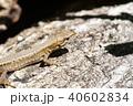カナヘビ 40602834