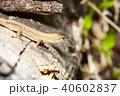 カナヘビ 40602837