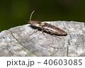 コメツキバッタ 昆虫 虫の写真 40603085