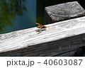 アシナガバチ 40603087