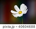 白色 植物 秋桜の写真 40604688