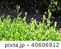 茶畑 40606912