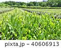 茶畑 40606913