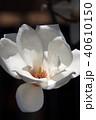 木蓮 白木蓮 植物の写真 40610150