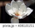木蓮 白木蓮 植物の写真 40610151