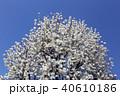 木蓮 白木蓮 植物の写真 40610186