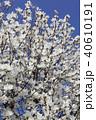木蓮 白木蓮 植物の写真 40610191