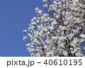 木蓮 白木蓮 青空の写真 40610195