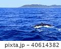 フルークダウンする慶良間のザトウクジラ 40614382