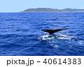 フルークアップする慶良間のザトウクジラ 40614383