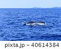 フルークダウンするザトウクジラ 40614384