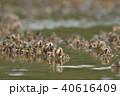 ミナミコメツキガニの群れ 40616409