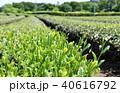 茶畑 40616792