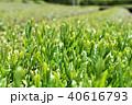 茶畑 40616793