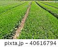 茶畑 40616794