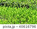 茶畑 40616796