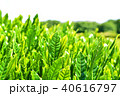 茶畑 40616797