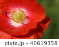 ポピー クローズアップ 赤の写真 40619358