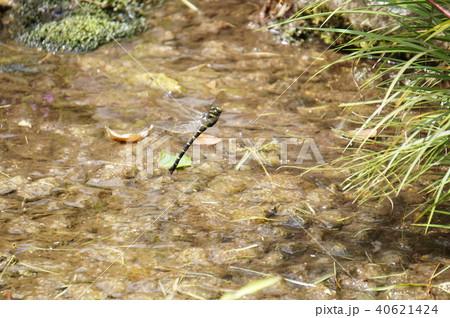 オニヤンマの産卵 40621424