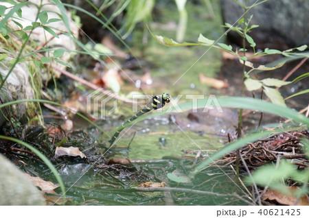 オニヤンマの産卵 40621425