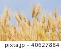 大麦の穂 40627884
